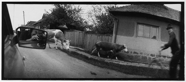 Plachy Sylvia Self Portrait with cows 19 iFocus